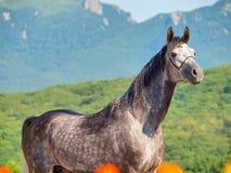 灰色阿拉伯公马画象  库存图片