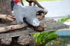 灰色非洲鹦鹉 免版税库存图片