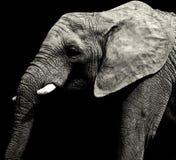 灰色非洲大象 库存照片