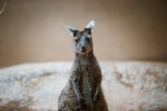 灰色颜色一个滑稽的成人袋鼠动物在它的后腿站立并且看照相机在一块黄色石头的一个动物园里在多云w 库存图片