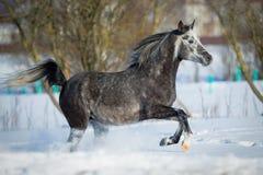 灰色马在冬天背景中疾驰 免版税库存图片