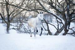 灰色马赛跑疾驰在冬天森林里 库存照片