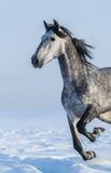 灰色马-在行动的接近的画象 免版税图库摄影
