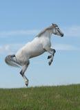 灰色马 免版税库存图片