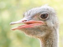 灰色驼鸟 库存照片