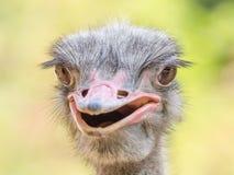 灰色驼鸟 免版税库存照片