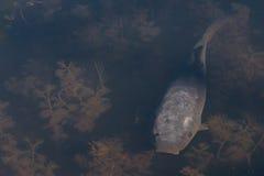 灰色鱼 免版税库存照片