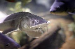 灰色鱼 免版税图库摄影
