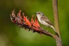 灰色鸣鸟- Gerygone igata -从新西兰的riroriro共同的小鸟 库存图片