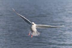 绿灰色鸥在荷马阿拉斯加 免版税库存照片