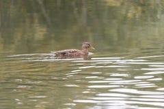 灰色鸭子游泳在池塘 免版税库存照片