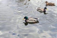 灰色鸭子游泳 免版税图库摄影