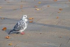 灰色鸽子 美好的关闭 城市鸟 图库摄影