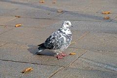 灰色鸽子 美好的关闭 城市鸟 库存照片