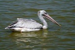 灰色鹈鹕在湖 免版税库存图片