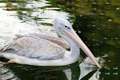 灰色鹈鹕游泳在池塘 免版税库存照片