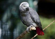 灰色鹦鹉坐树枝 免版税库存图片