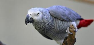 灰色鹦鹉 免版税库存图片