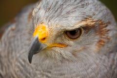 灰色鹰 库存图片