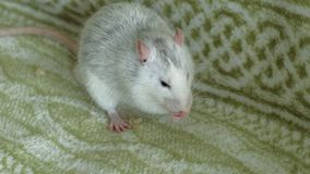 灰色鼠吃在长沙发食物的,宠物 股票录像