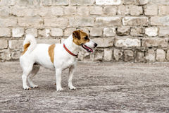 灰色破坏了砖墙背景和一条常设狗杰克罗素狗 免版税库存图片