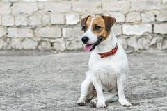 灰色破坏了砖墙背景和开会小狗杰克罗素狗 库存照片