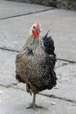 灰色黑母鸡 免版税图库摄影