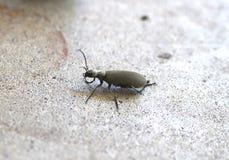 灰色水疱虫或Epicauta floridensis 库存图片