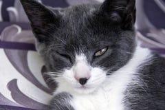 灰色/白色猫 免版税库存图片