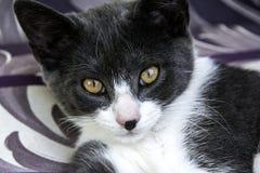 灰色/白色猫 库存图片