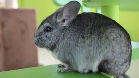 灰色黄鼠坐绿色椅子 影视素材