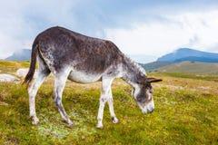 灰色驴,画象 免版税库存照片