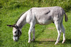 灰色驴 免版税库存图片
