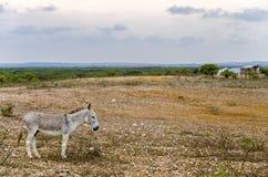 灰色驴 免版税库存照片