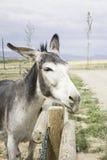灰色驴 库存图片