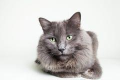 灰色Nebelung猫 免版税库存图片