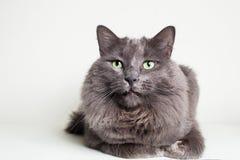 灰色Nebelung猫 免版税库存照片