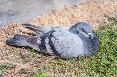 灰色PigeonDove 库存图片