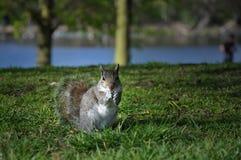 灰色sguirrel 免版税库存照片