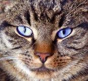 灰色Tomcat特写镜头 免版税库存照片