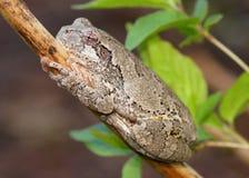 灰色Treefrog或雨蛙,杂色的雨蛙 免版税库存图片