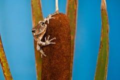 灰色Treefrog (杂色的雨蛙) 库存照片