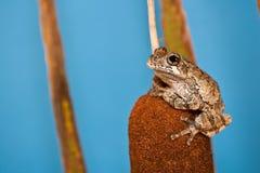 灰色Treefrog (杂色的雨蛙) 免版税库存图片