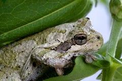 灰色Treefrog (雨蛙chrysoscelis) 库存图片