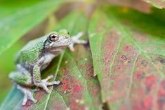 年轻灰色Treefrog 免版税图库摄影