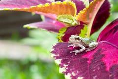 灰色Treefrog Metamorph 图库摄影