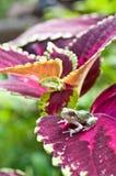 灰色Treefrog Metamorph 库存图片