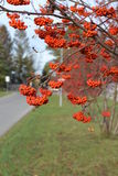 灰莓果树 库存图片