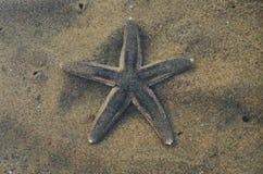 灰褐色海星 库存照片