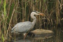 灰质一灰色苍鹭的Ardea吃在芦苇的一条鱼在湖的边缘 库存图片